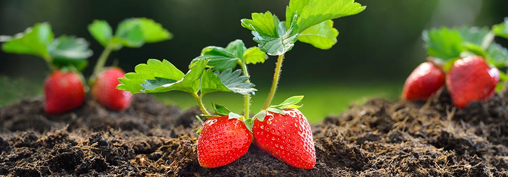 Aromatiques & Petits fruits