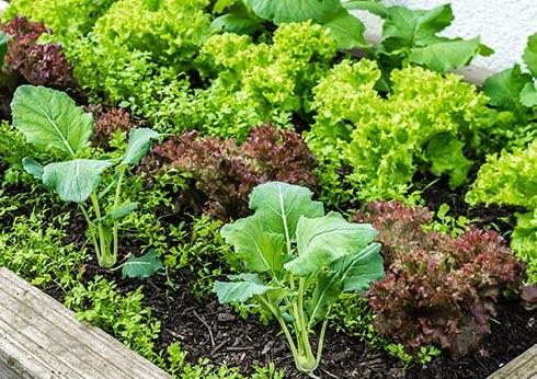 Plants potagers